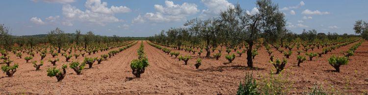 Wijnbouw-bij-bodega